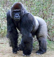 Секс с гориллами и людими