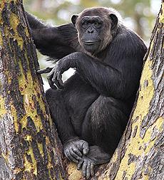 Секс малых шимпанзе